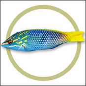 checkerwrasse0