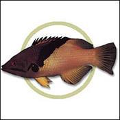 coralhogfish0