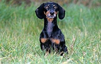 dachshund-hot-dog2