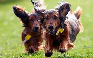 dachshund-hot-dog3