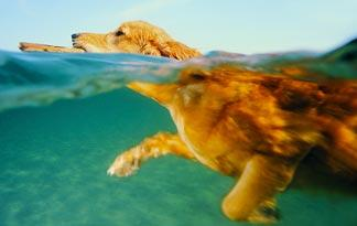 do-all-dogs-know-how-to-swim0