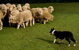 do-dogs-automatically-know-how-to-herd0