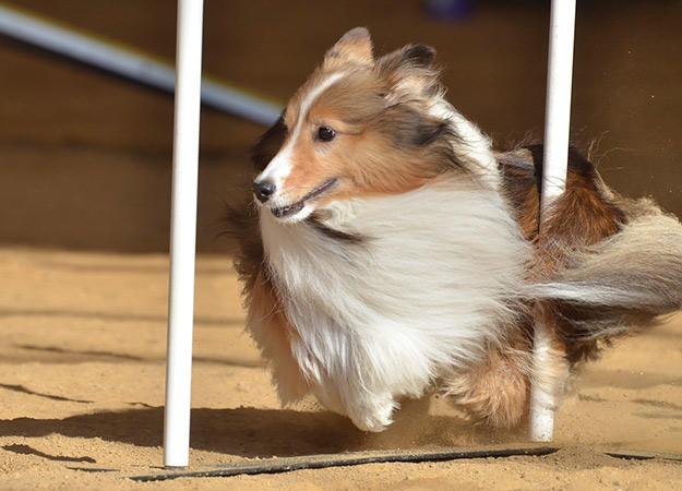 dog-agility-training-01-625x450