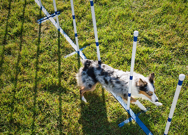 dog-agility-training-07-625x450