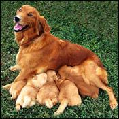 dogpregnancyintro0