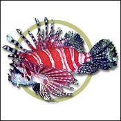 dwarflionfish0