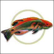exquisitewrasse0