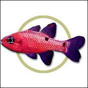 flamefish0