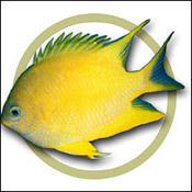 Read More Less Golden Damselfish