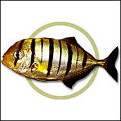 goldtrevally0