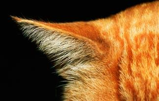 how-to-treat-ear-mites-in-cats0