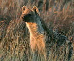 hyena-facts0