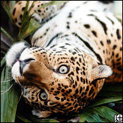 jaguar0