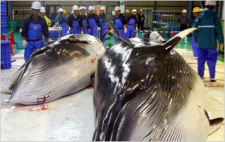 japanese-whalers-japan-killing-whales-sustainable0