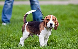 leash-training-324x205