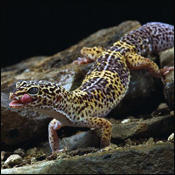 Leopard Gecko: Stats & Facts | Animal Planet