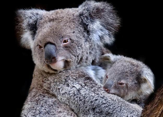 R Koalas Dangerous Koala Bear Teeth Relat...