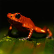 poisonarrowfrog0