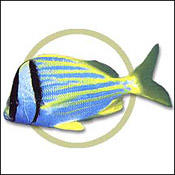 porkfish0