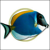 Powder blue tang animal planet for Blue tang fish facts