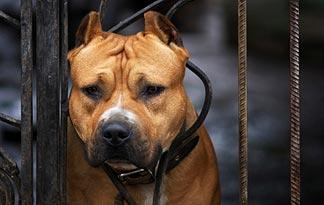 2: Bully breed brains grow continuously, causing them to go