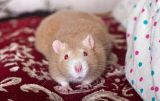 rat-top-ten-02-325x205
