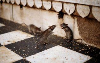 rat-top-ten-05-325x205