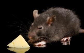 rat-top-ten-07-325x205