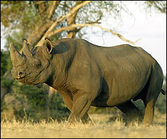 rhino-nights-facts0