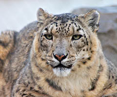 snow-leopard-facts0