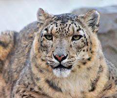 snow-leopard-facts0