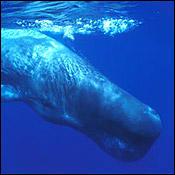 sperm-whale-diet0