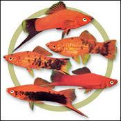 swordtail-fish-guide0