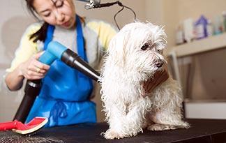 terrier-grooming1