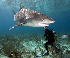 tiger-sharks-facts0