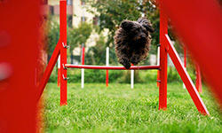 train-dogs-for-jumping-competition-250x150