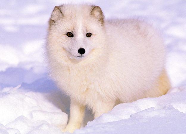 Tundra Arctic Fox In Summer 5. Artic Fox | ...