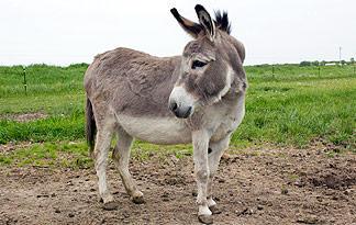 8: Miniature Donkey | Animal Planet