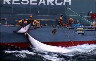 whales-whaling-harpooned-whales-suffer0