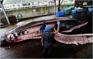 whales-whaling-how-whales-processed0