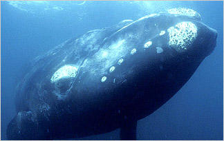 whales-whaling-right-whale0