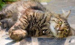 What causes cats to fall over repeatedly? | Healthy Cats | Animal Planet