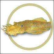 yellowancistrus0