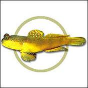 yellowgobywatch0