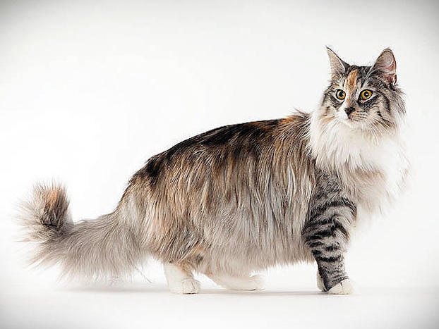 norwegian forest cat animal planet
