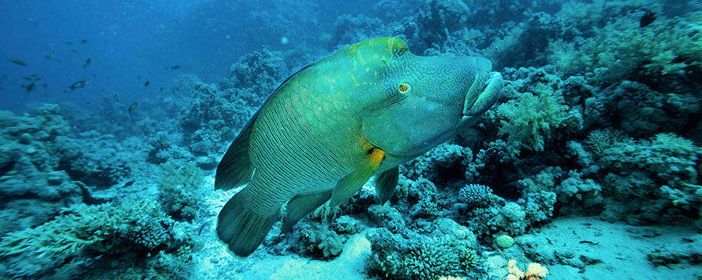 Humphead-Wrasse-ARTICLE-PAGE.jpg