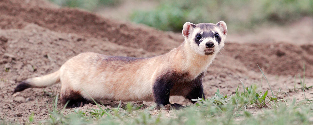 Save A Black Footed Ferret 2