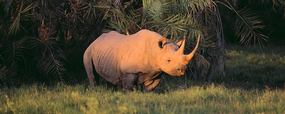 black-rhino-ARTICLE-PAGE.jpg