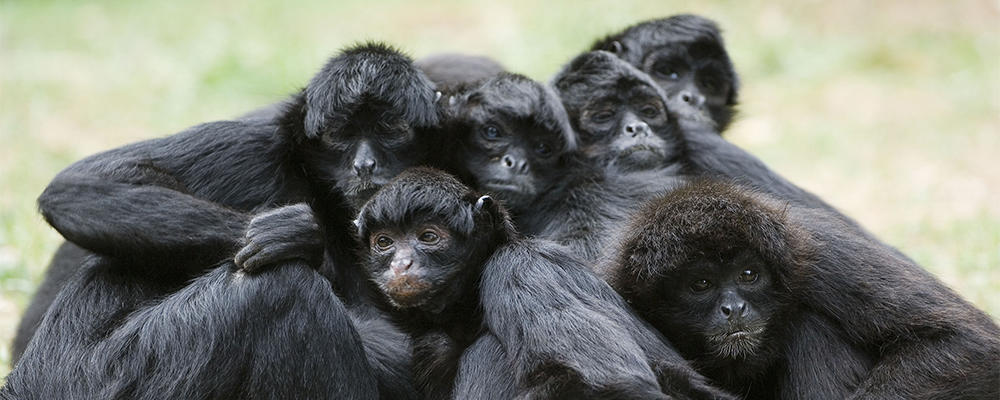 black-spider-monkey-ARTICLE-PAGE.jpg