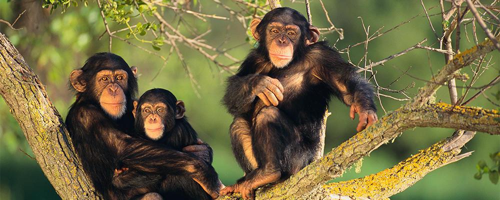 chimpanzee-ARTICLE-PAGE.jpg